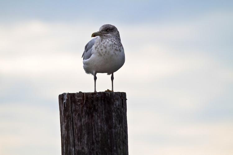 seagull-1273805_960_720