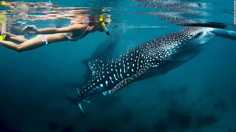 150605123259-whale-shark-oslob-super-169